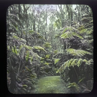 Tree ferns along a path in forest