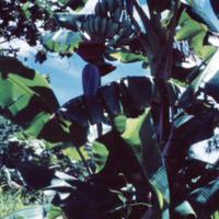Banana bud, Dublon [Tonoas, Chuuk] Sept. 1950