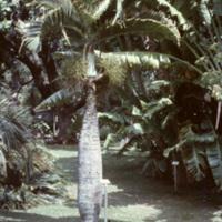 Palm tree and banana plants