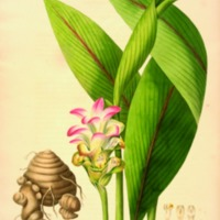 Curcuma Latifolia from Monandrian Plants