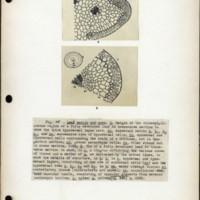 Page 55 – Leaf margin and apex