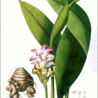 Curcuma latifolia