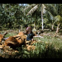 Antab working on the section of the breadfruit tree…