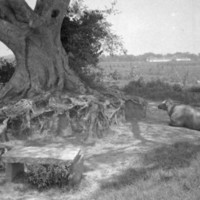 841. Honam Island, Banyan and water buffalo