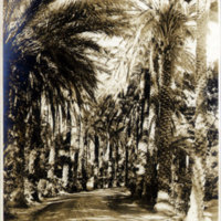 Date palm tree-lined drive