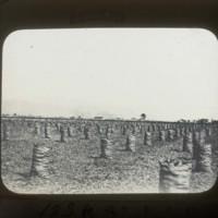 Potato harvest: ポテトの収穫