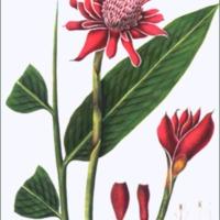 Alpinia magnifica