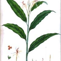 Hedychium acuminatum