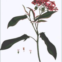 Jatropha panduraefolia
