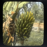 Bananas sprouting off banana tree flower