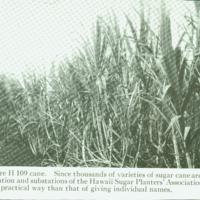 [095] Sugar Cane Type H 109