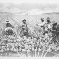 [079] Picking Pineapples