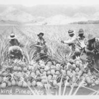 [079] Picking Pineapples