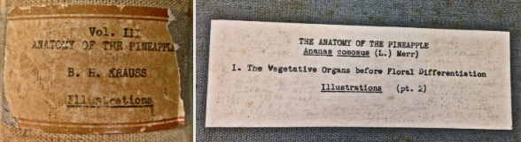 Binder label: Vol. III Anatomy of the Pineapple B. H. Krauss Illustrations. Cover label: The Anatomy of the Pineapple. The vegetative organs before floral differentiation.